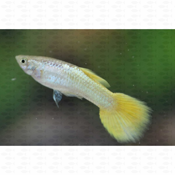 GUPPY MALE METALLIC YELLOW