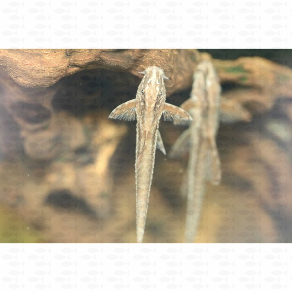 LORICARIA WHIPTAIL RED (L10A)