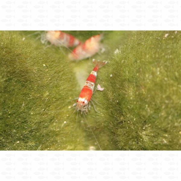 SHRIMP CRYSTAL RED