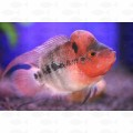 CICHLID FLOWER HORN HIGH GRADE