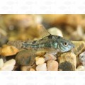 CORYDORAS PEPPERED