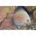 DISCUS RED WAVE