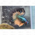 FIGHTER SUPER DELTA TRI COLOUR MALE