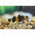 GOBY BUMBLE BEE
