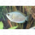 GOURAMI DWARF BLUE FEMALE