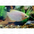GOURAMI GIANT GOLD