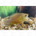 GOURAMI THICKLIP ORANGE