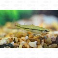 KILLIFISH BLUE FIN