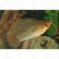 MOLLY SAILFIN GREEN