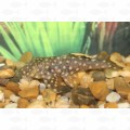 PLECOSTOMUS GOLD NUGGET QUEEN L177