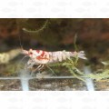 SHRIMP HINOMARU RED M