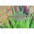 TETRA COLUMBIAN RED BLUE