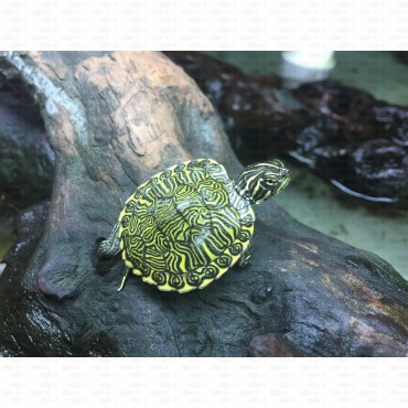 TURTLE RIVER COOTER